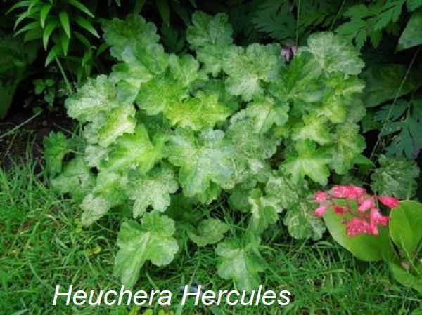 heuchera_hercules_1.jpg (119 Kb)