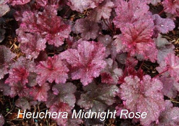 heuchera_midnight_rose_2.jpg (114.04 Kb)