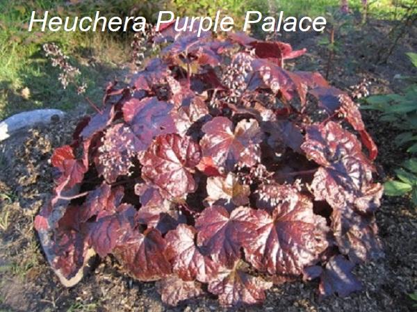 heuchera_purple_palace.jpg (141.68 Kb)