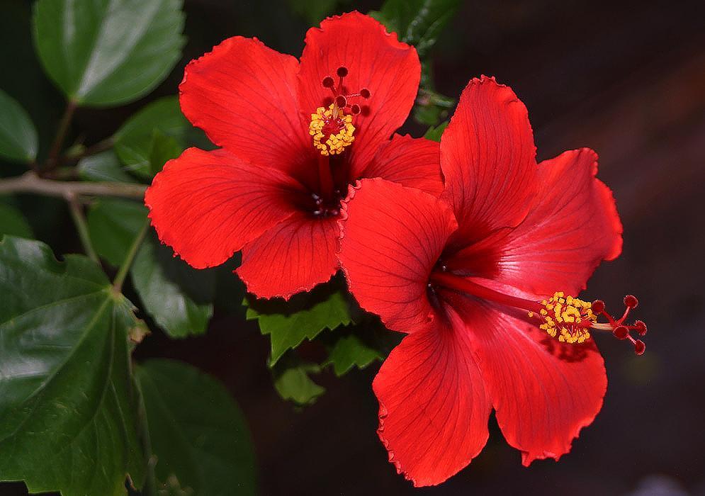 Гібіскус (Китайська троянда): догляд, пересадка, розмноження