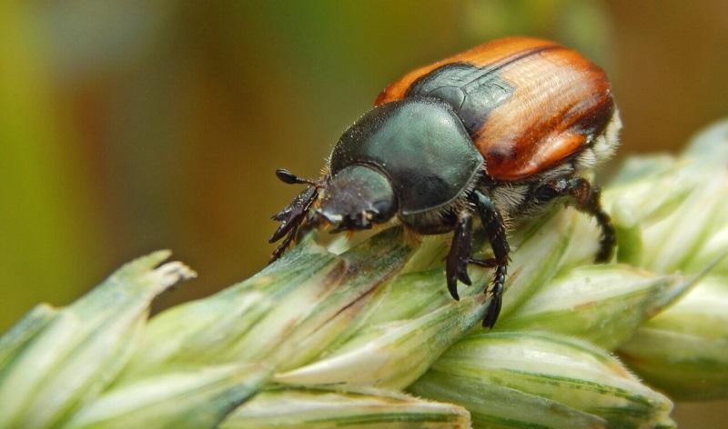 Хлібний жук кузька - ознаки появи, методи боротьби