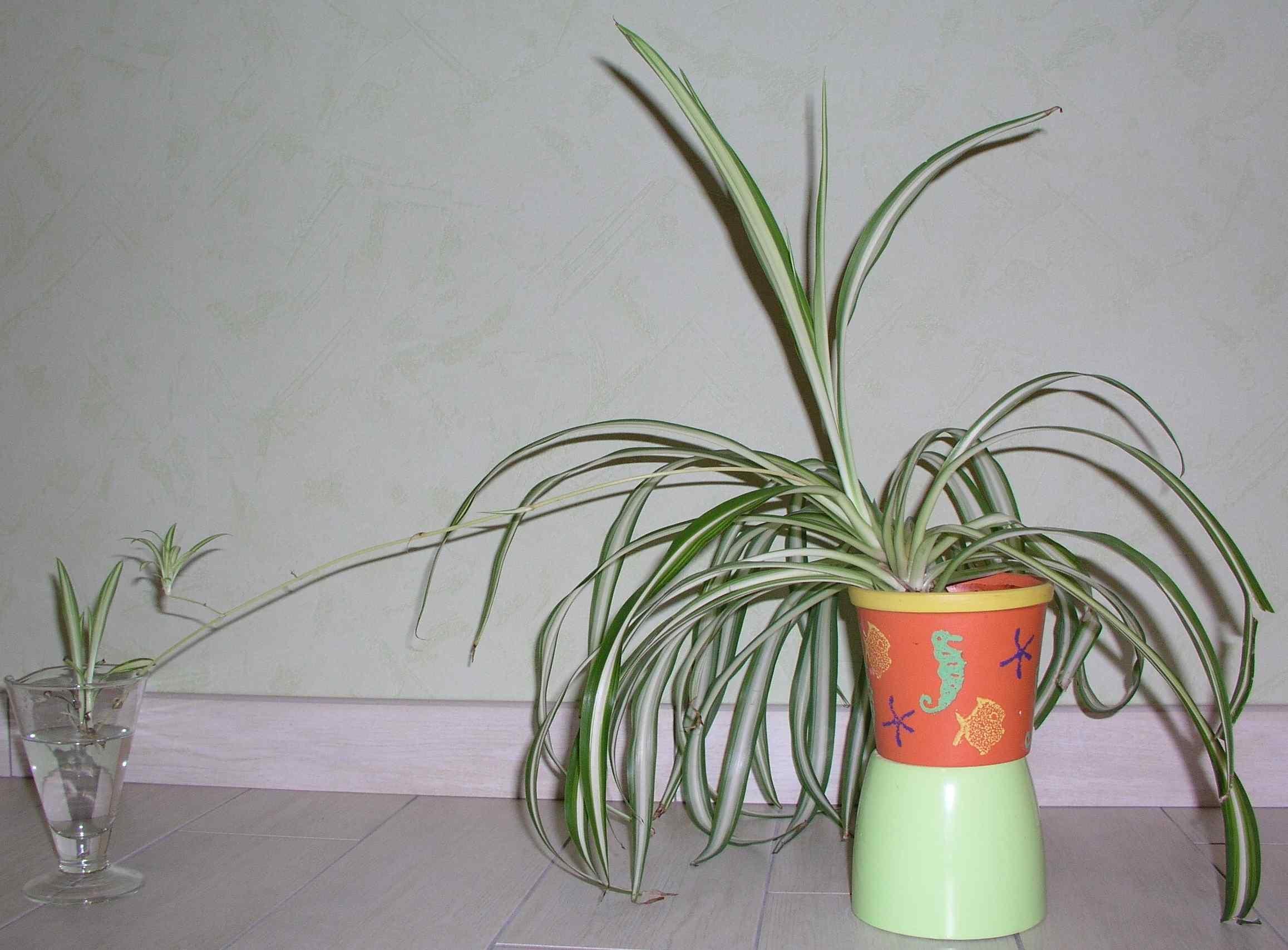 hlorofitum5.jpg (245.56 Kb)