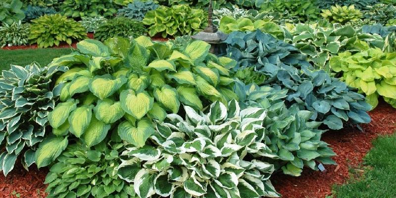 Які багаторічні рослини посадити  в тіні