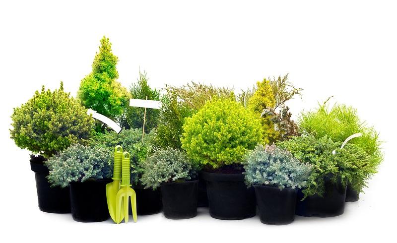 Висаджування хвойних рослин