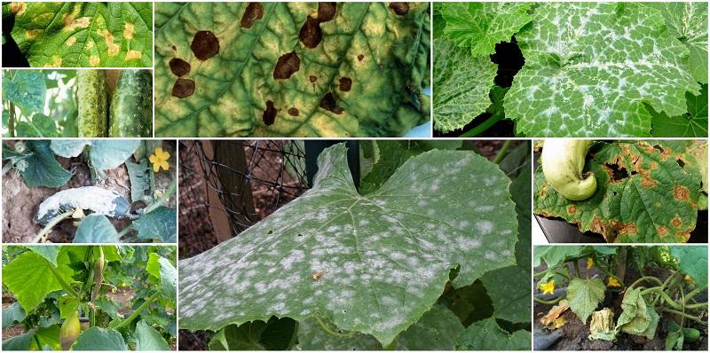 Хвороби огірків, фото