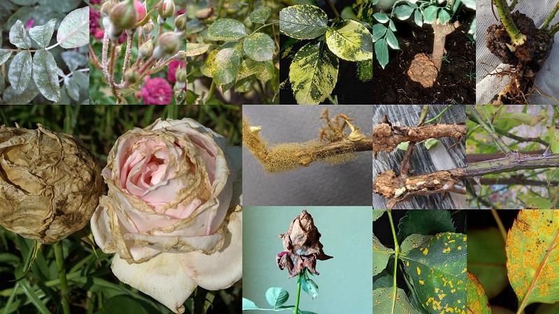 Хвороби троянд, ознаки, боротьба, фото