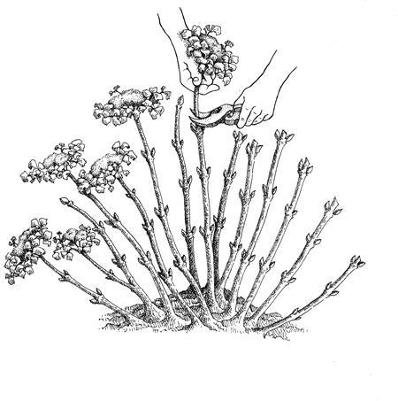 hydrangea-obrizca1.jpg (62.82 Kb)
