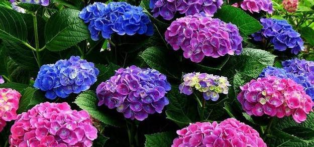 Гортензія: рожева чи блакитна? Догляд