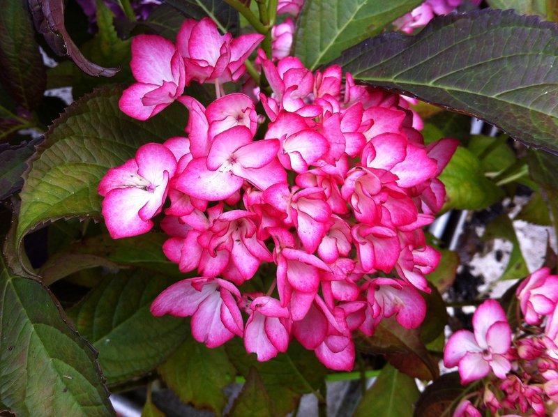 hydrangea_macrophylla1123.jpg (113.61 Kb)