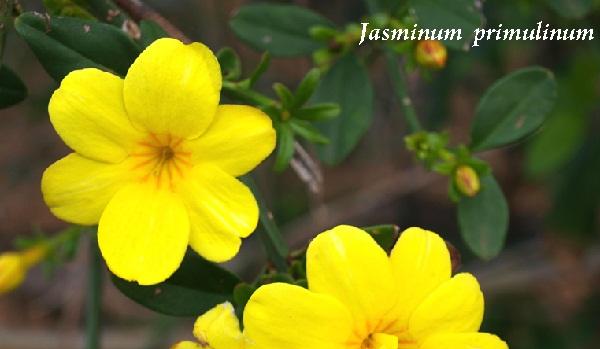 jasminum__primulinum.jpg (55.73 Kb)