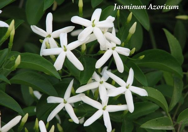 jasminum_azoricum.jpg (87.46 Kb)