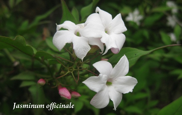 jasminum_officinale.jpg (68.94 Kb)