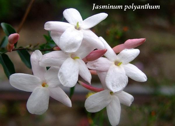 jasminum_polyanthum.jpg (77.82 Kb)
