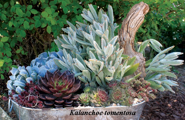 kalanchoe_tomentosa.jpg (151.9 Kb)
