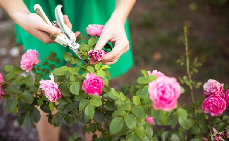 Календар догляду за трояндами