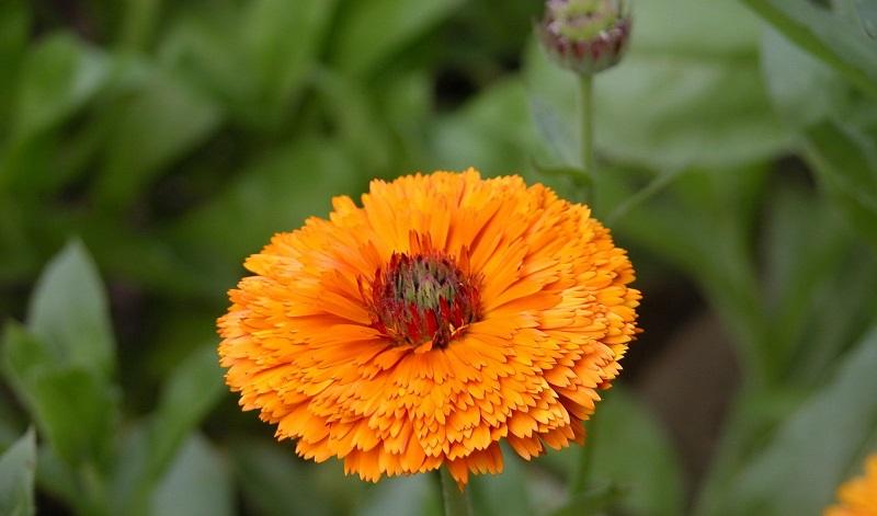 Календула – вирощування, догляд