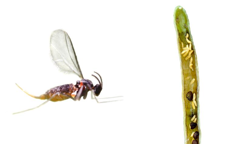 Стручковий капустяний комарик - ознаки появи, методи боротьби