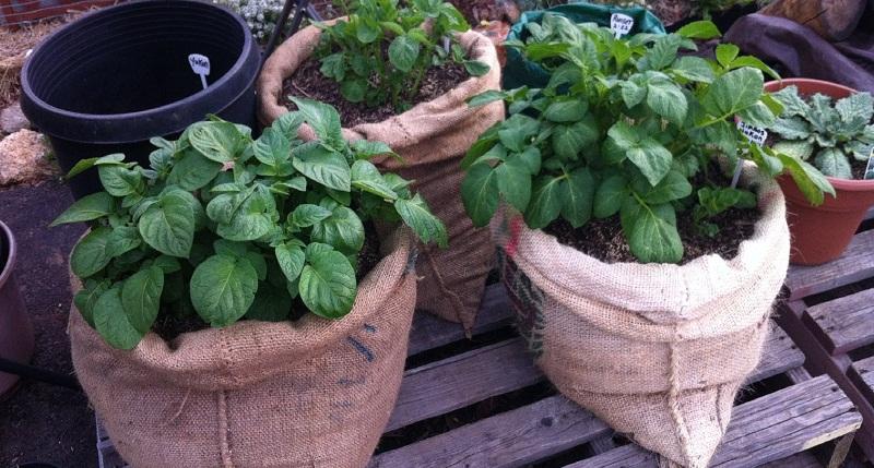 Вирощування картоплі в бочці, в мішку