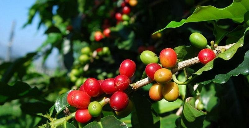 Як виростити кавове дерево в домашніх умовах