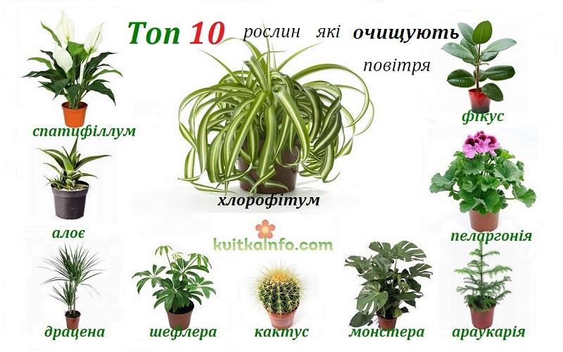 Кімнатні рослини, що очищають повітря
