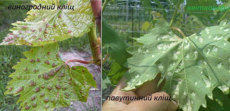 Павутинний кліщ, виноградний зудень на винограді