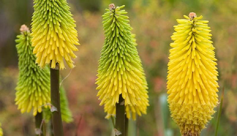 Кніфофія: вирощування, догляд, розмноження