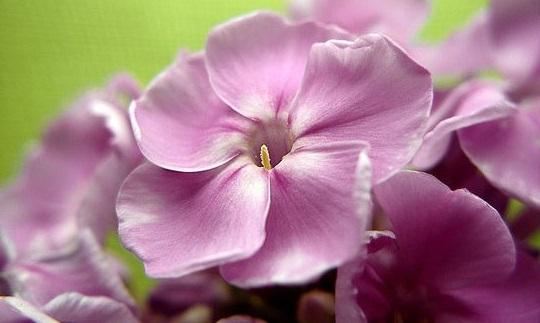 Коли садити квіти флокси