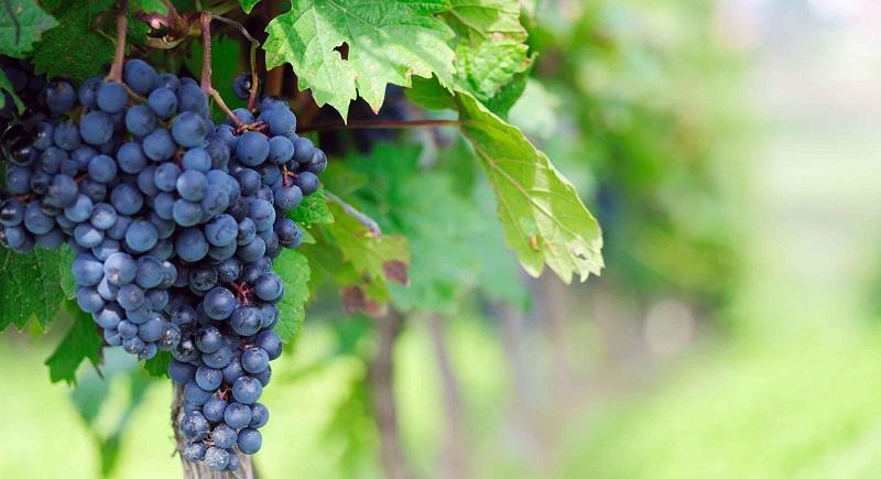 Коли та як садити виноград