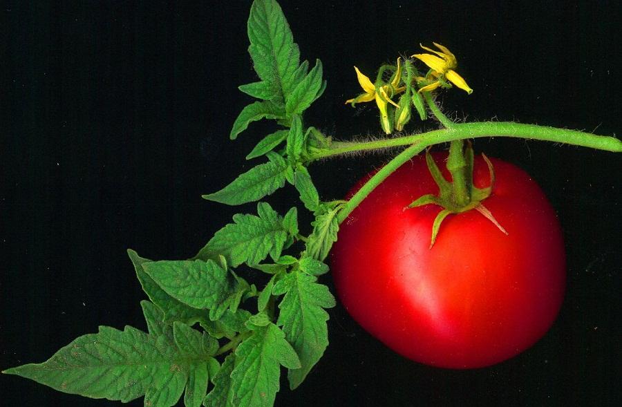 Коли сіяти помідори (томати) на розсаду, вирощування, догляд
