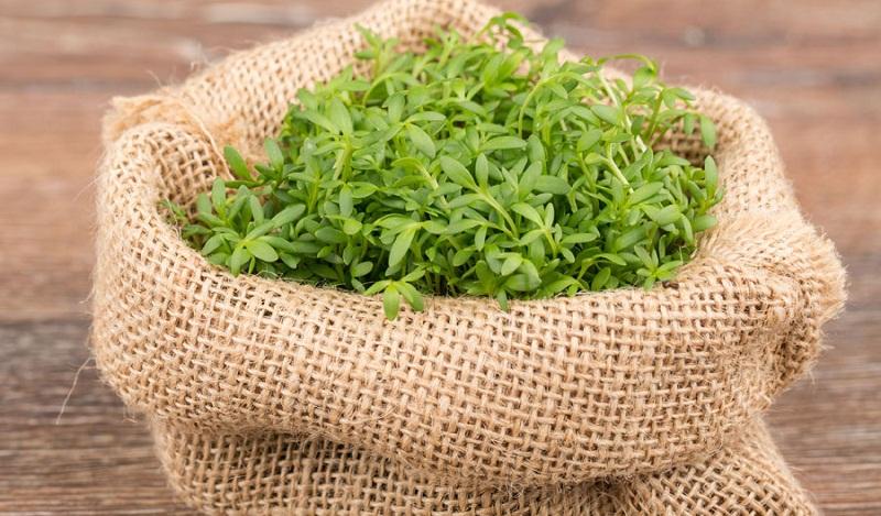 Вирощування крес салату за 5 днів