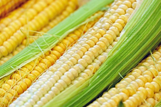 Кукурудза звичайна: опис, заготівля і зберігання, лікарські властивості