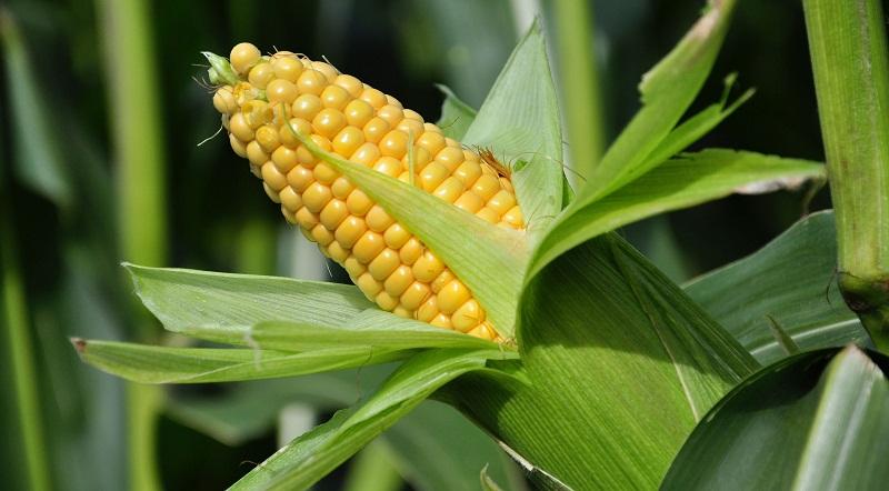 Як садити та вирощувати кукурудзу
