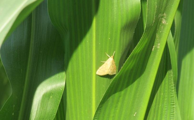 Стебловий кукурудзяний  метелик - ознаки появи, методи боротьби
