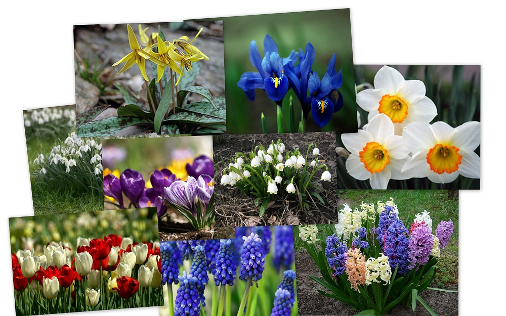 Як садити цибулини різних квітів