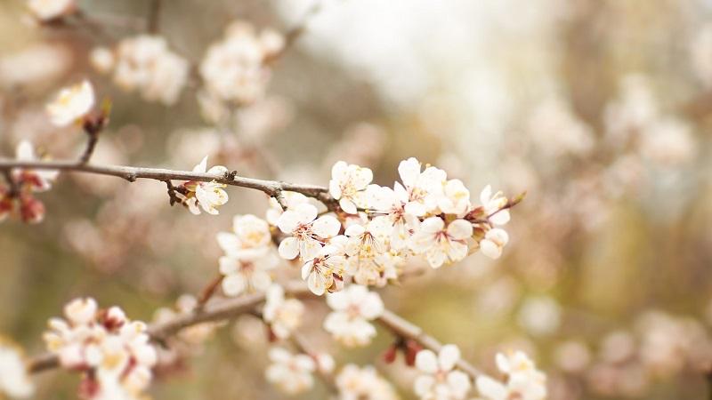 Як захистити квітучий сад від весняних заморозків