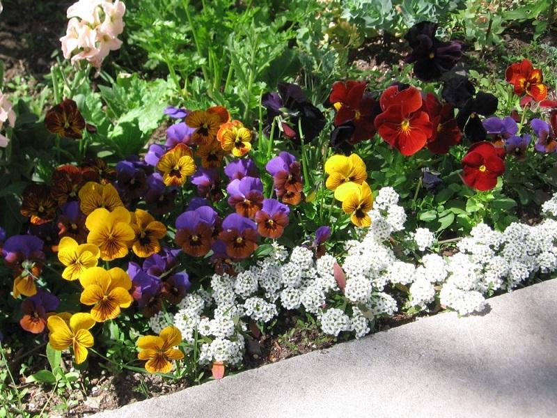 Висівання квітів під зиму, плюси та мінуси