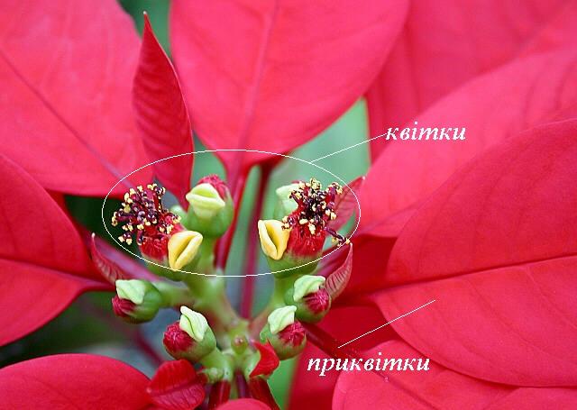 kviti_rizdvyannika.jpg (80.54 Kb)