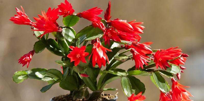 Лісові кактуси - догляд Види кактусів