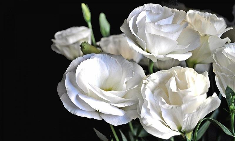 Еустома (Лізіантус): догляд та вирощування