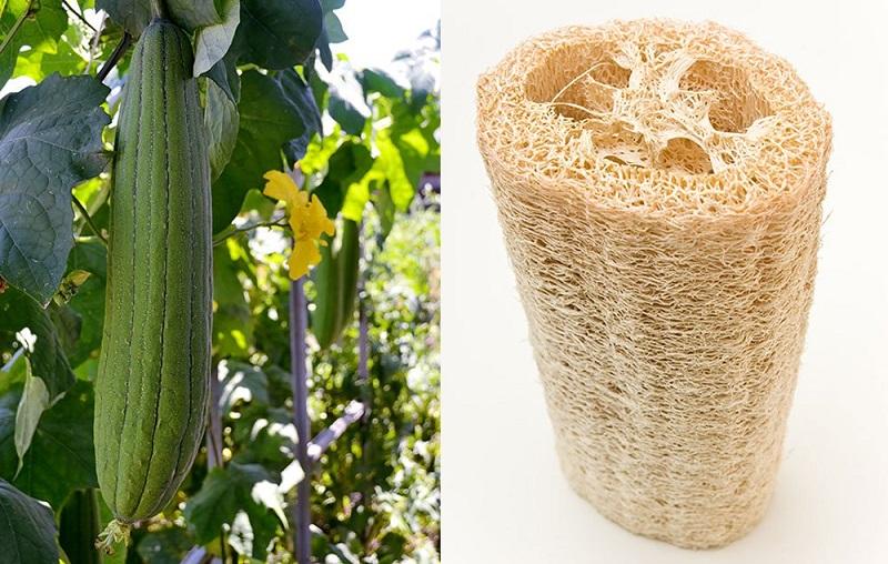 Люфа – рослина губка Вирощування