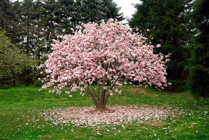 magnoliya.jpg (154.2 Kb)
