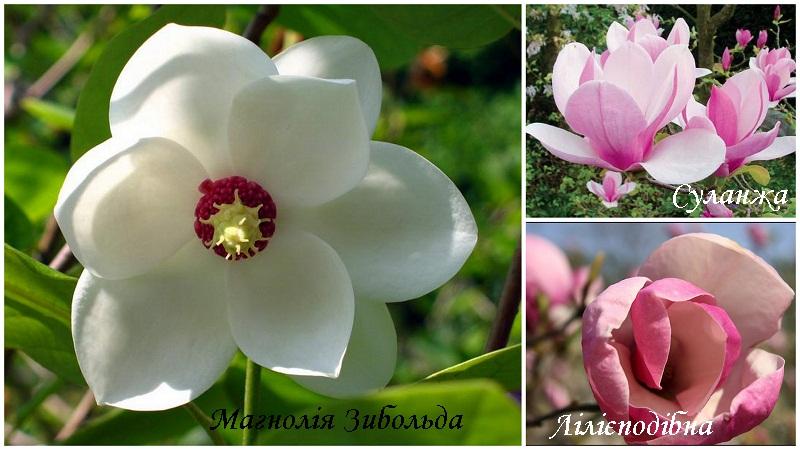 magnoliya_vidi1.jpg (126.5 Kb)