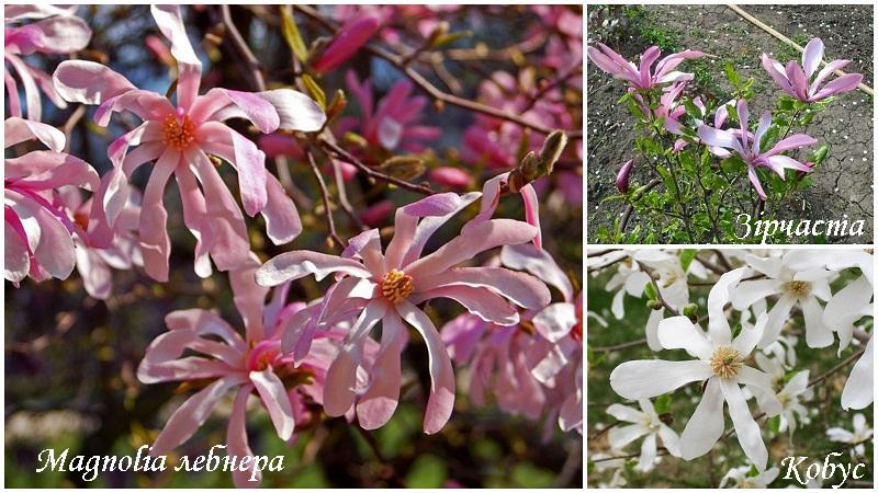 magnoliya_vidi_2.jpg (182.88 Kb)