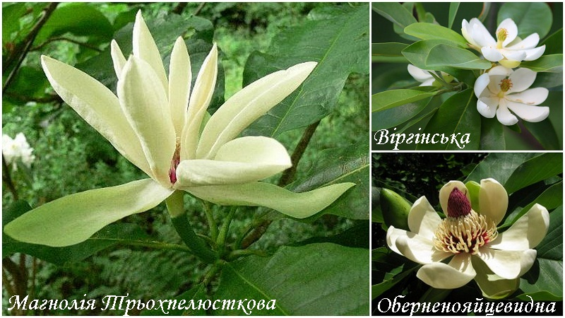 magnoliya_vidi_3.jpg (165.71 Kb)
