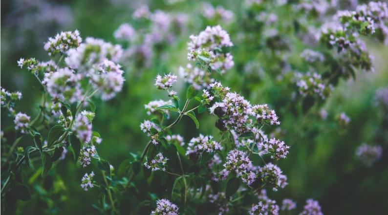 Цілющі трави: материнка звичайна (орегано)