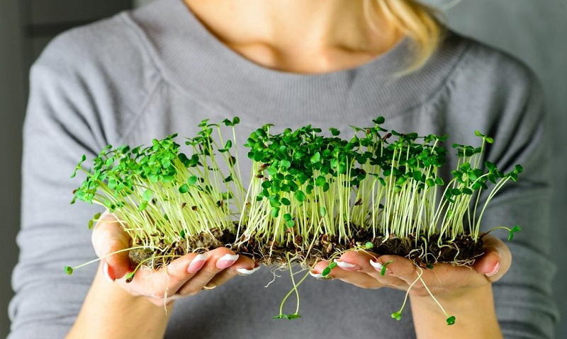 Як вирощувати мікрозелень (мікроґрін )