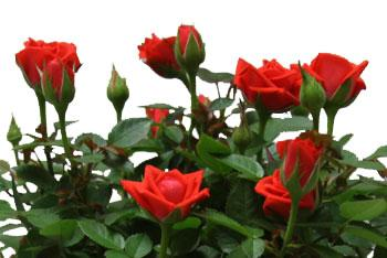 miniature-rose-red.jpg (16.89 Kb)