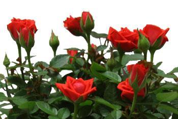 miniature-rose-red.jpg (16.89 Kb)