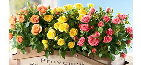 miniature_roses21.png (218.72 Kb)