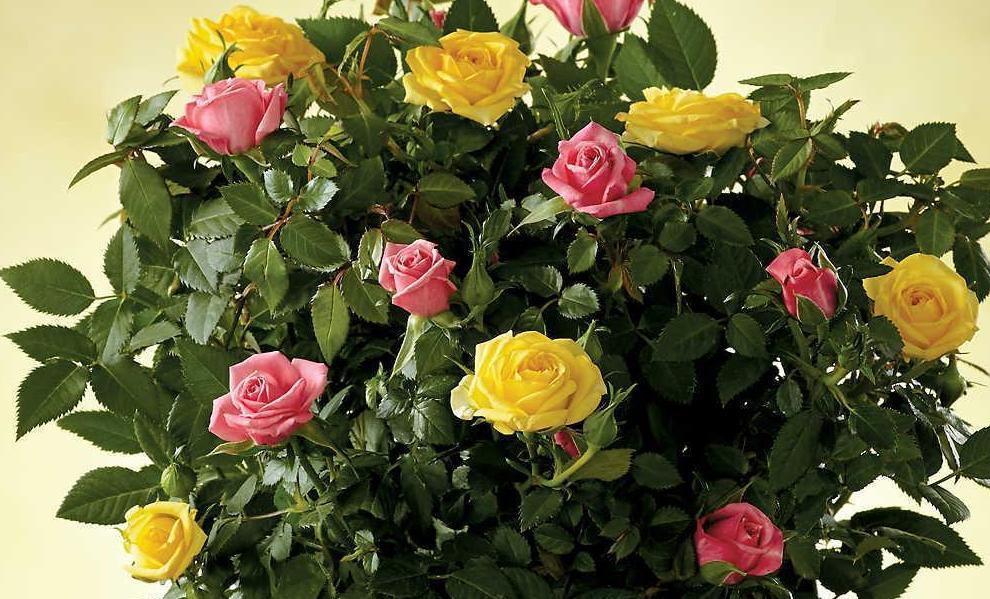 Мініатюрна троянда (кімнатна) - догляд